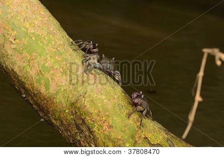 Meder's Mangrove Crabs