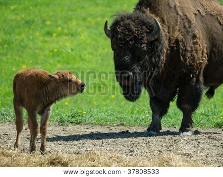 Bison Calf Standing With Mother