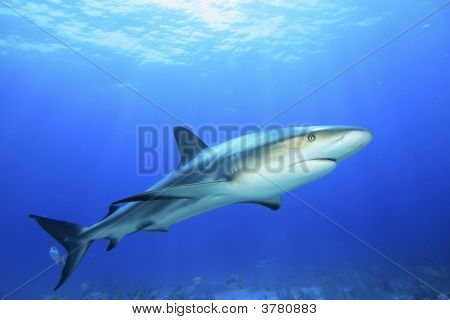 Reef Shark In Blue Water