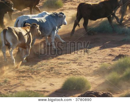 Cattle4