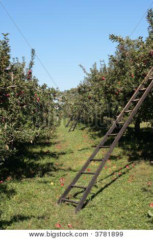 Row Of Harvest Ladders