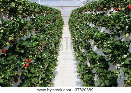 Strawberry farm plantation