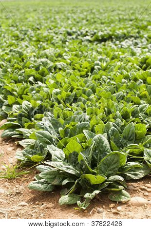 Spinach Plantation