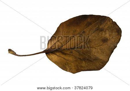 Bergenia Leaf