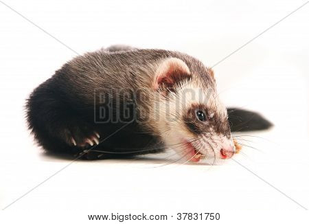 Ferret on white