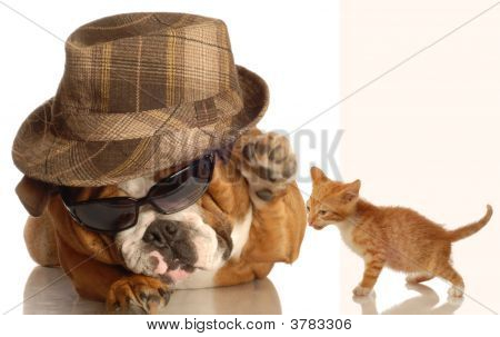 Bulldog Gangster With Kitten