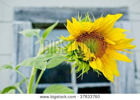 Dancing Sunflower