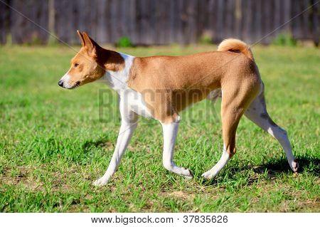 Red baseni dog