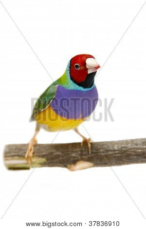 Gouldian Finch on white