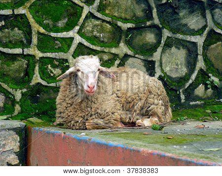 Schaf in Kathmandu