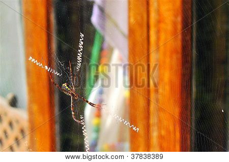 Kreuzfadenspinne, cross spider