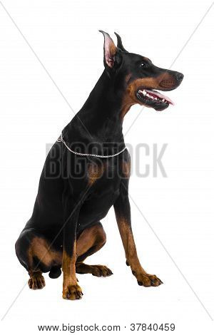 Portrait of black doberman
