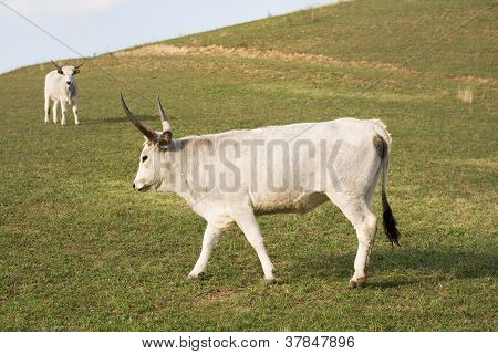 The Hungarian Gray Cattle.