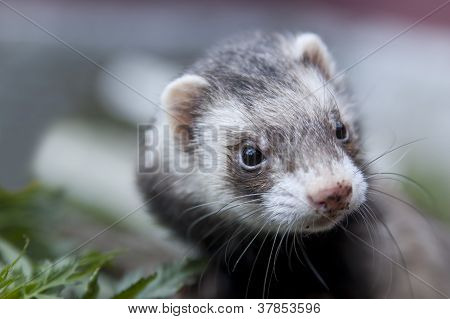 Ferret Face With Dirty Nose Looking Somewere