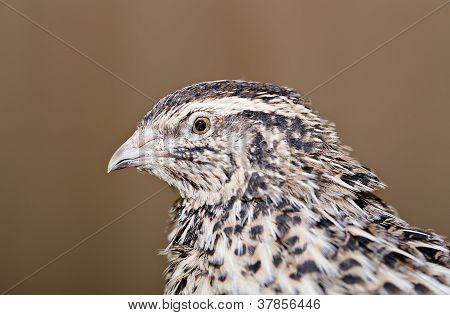 Zoomed young quail head is photographed from left