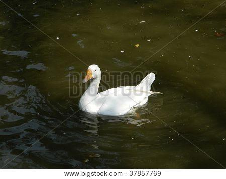 Aylesbury Ducks,Fulvous Whistling Duck