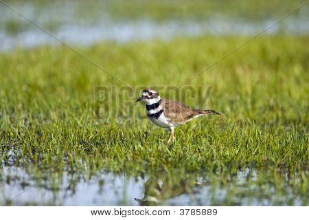 Killdeer In A Flooded Field