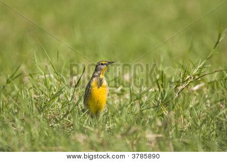 Meadowlark In A Field
