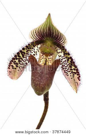 Close Up Of Lady's Slipper Orchid (paphiopedilum Callosum)
