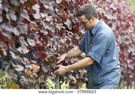 Harvesting Red Grapes
