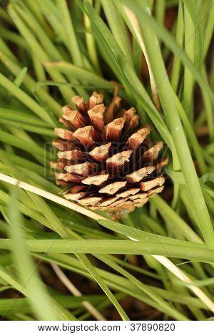 pine cone in grass