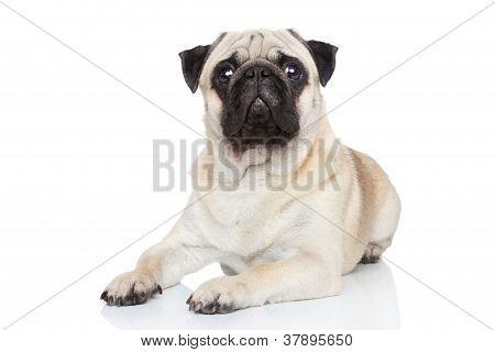 pug Hund liegend
