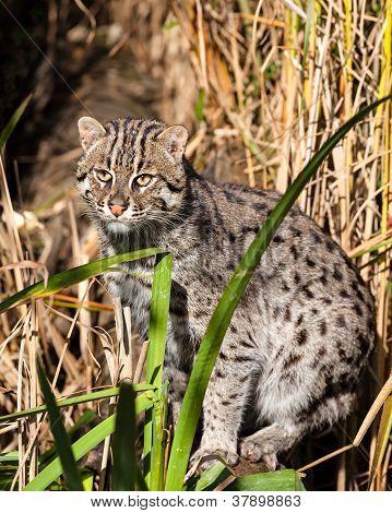 Fishing Cat Standing In Long Grass