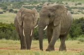 image of gentle giant  - two elephants standing at a water hole surrounded by grass