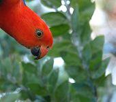 Australian King Parrot , Alisterus Scapularis