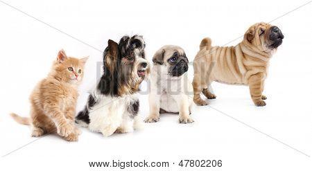 beaver  terrier and  kitten
