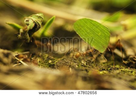Leafcutter Ants (atta Cephalotes)