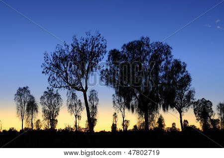 Desert Oak Trees at Twilight
