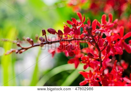 Beautiful Bright Red Orchid Flowers In Botanical Garden