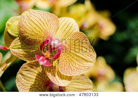 Bright Yellow Orchids Flower In Botanical Garden