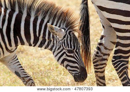 Closeup Of A Baby Zebra