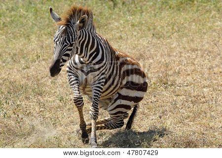 Baby Zebra Lifting
