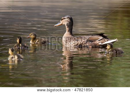 Mother Duck With Four Ducklings