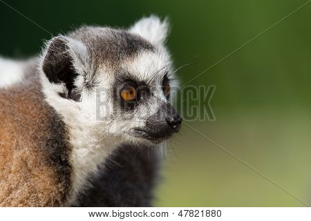 Young Ring-tailed Lemur Portrait