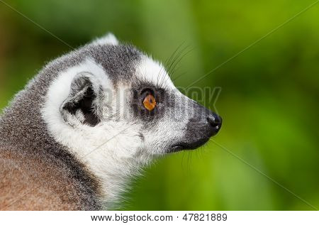 Ring-tailed Lemurs (lemur Catta) Close-up