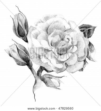 Flower rose sketch