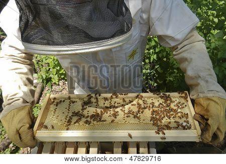 Imker inspiziert Bienenkorb