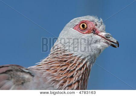 Rock Pidgeon Portrait
