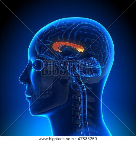 Brain Anatomy - Corpus Callosum