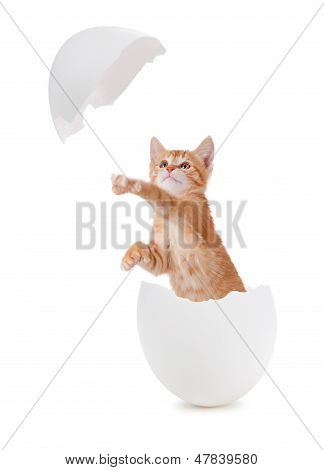Cute Orange Kitten Hatching From An Egg.