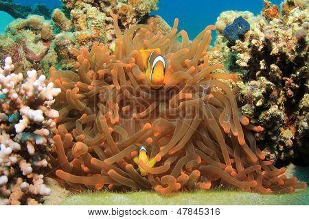 Red Sea Anemonefish (Clownfish)