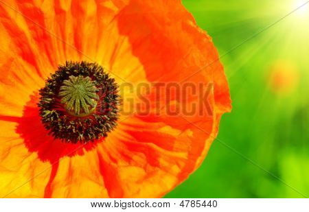 Poppy Close Up View