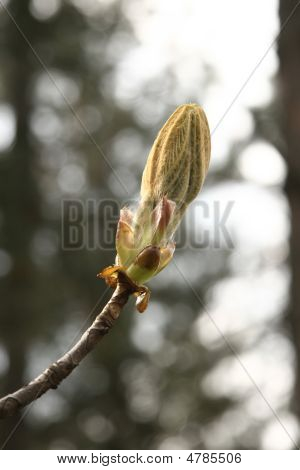 Chestnut Bud In Spring