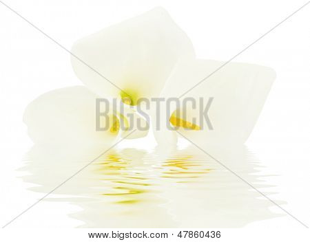 White calla lily close up in water