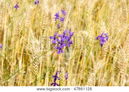 Blue Flower On  Wheat Field  Background