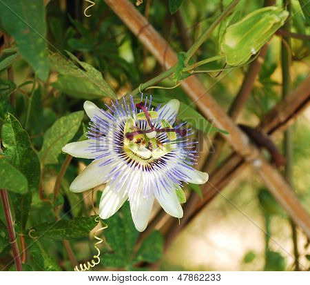 Passiflora Bluecrown